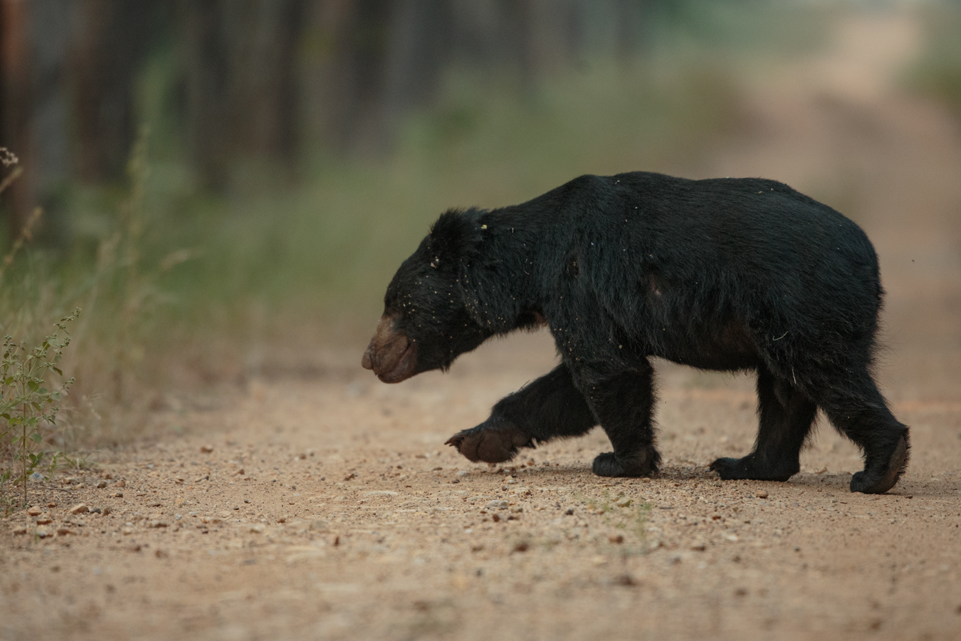 A sloth bear, 400mm f2.8, 1DX