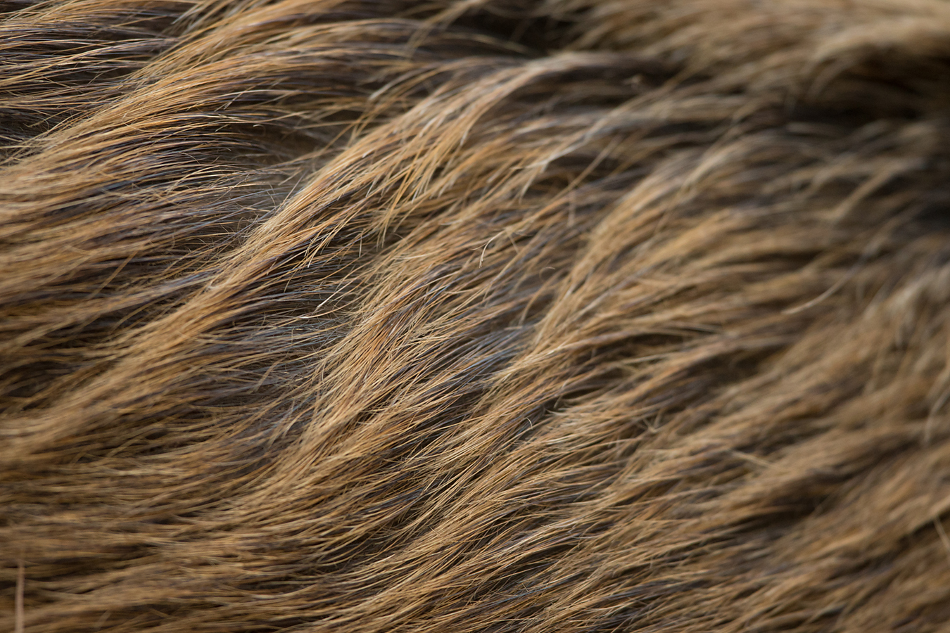 Coarse fur of a young female.
