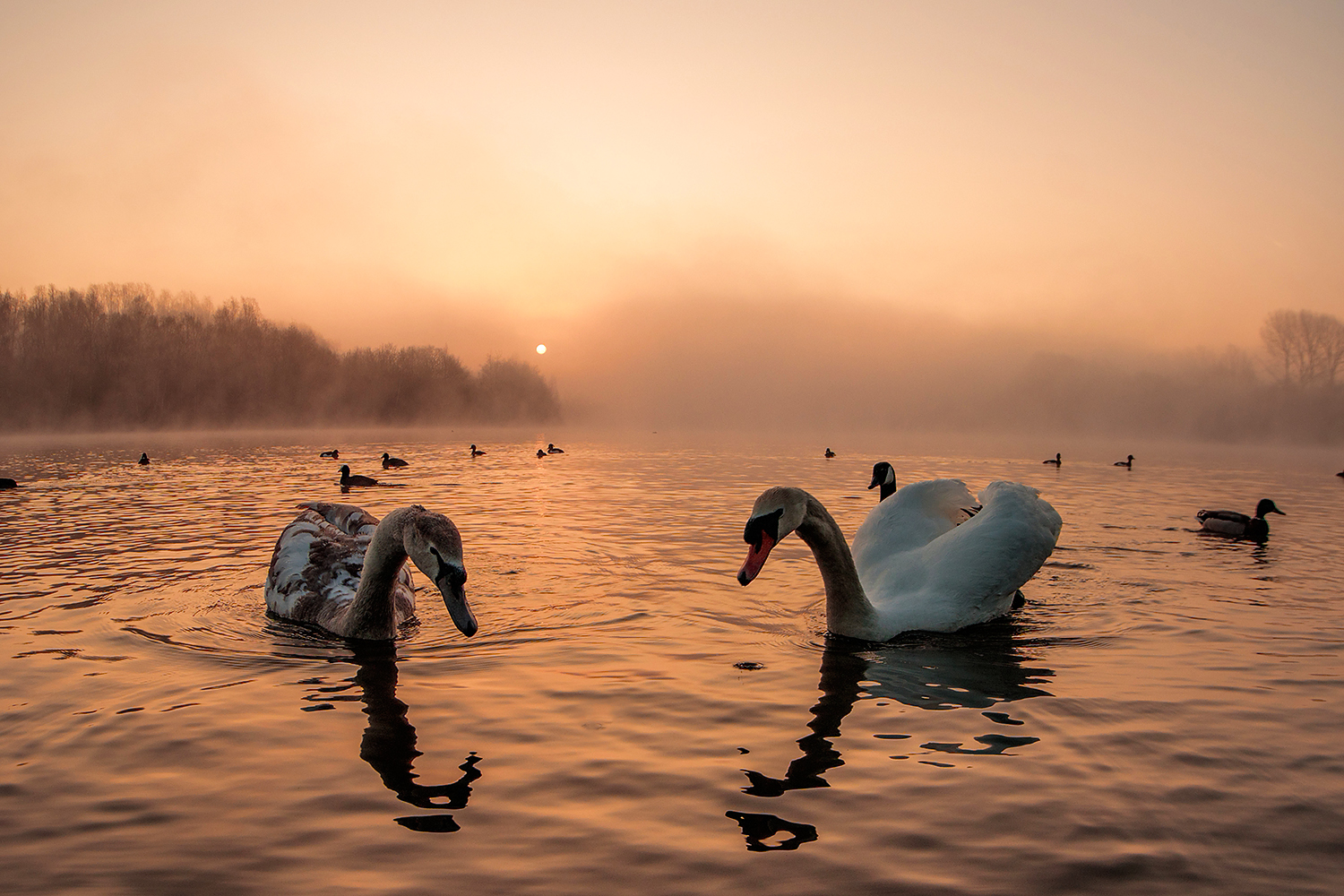 Swans on an early misty morning taken with an ultra wide lens