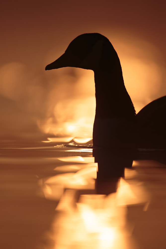 Canada goose using a low perspective and not being afraid to shoot direct into the light. I like the abstract shape the reflection of the sun forms around the bird and the warmth of the colours.