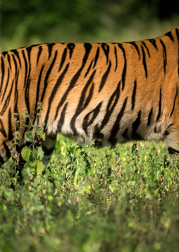 Canon 1dx, 400mm f2.8 . A dash of colour to finish. The bold orange and black, contrasts and compliments beautifully with the greens of Tadoba, and it is feature of my work there.