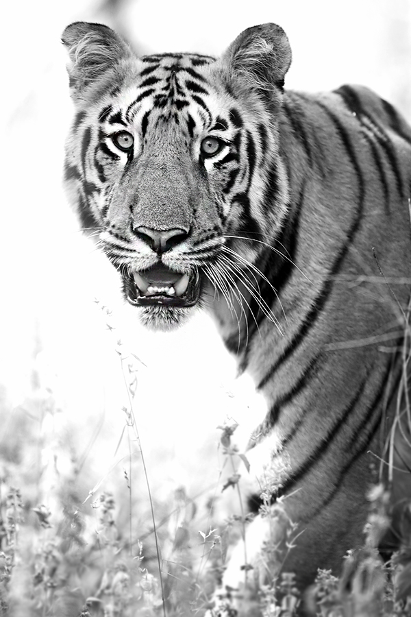 Canon 1dx, 400mm f2.8. The contrast on a tigers face and eyes allows one to easily lock autofocus and track the subject. A beautiful male, approaching his prime, it was a sight to behold and left us all inspired.