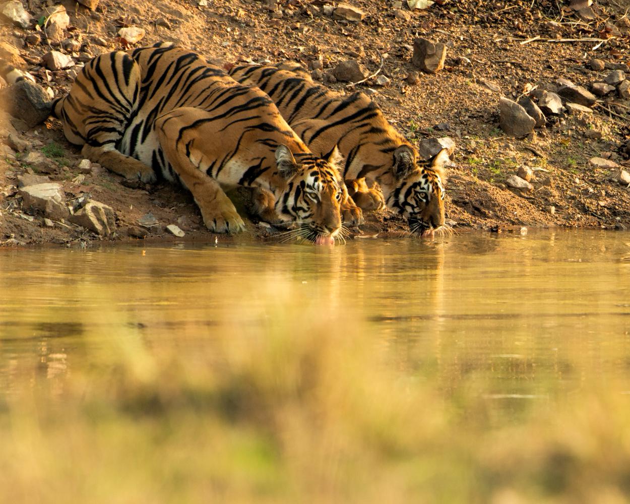 Tigress Sonam and her cub. 800mm  5d mk iii, f8