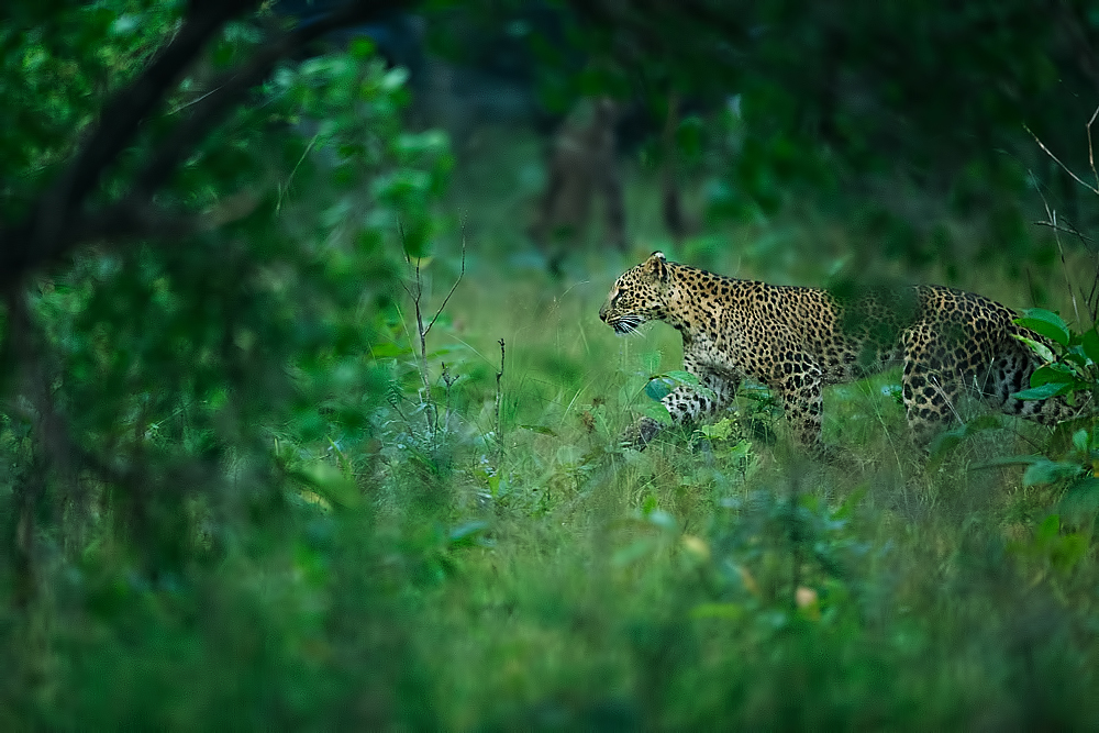 A sleek and beautiful leopard moving stealthfully towards some boar. Canon 1DX 400mm f2.8.