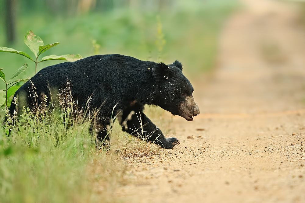 A sloth bear crossing the jungle trail. Just look at those huge claws! Canon 1DX, 400mm f2.8.