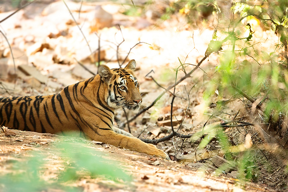 A lovely tigress in a dry rocky terrain, deep in the jungle. 1DX 400mm f2.8