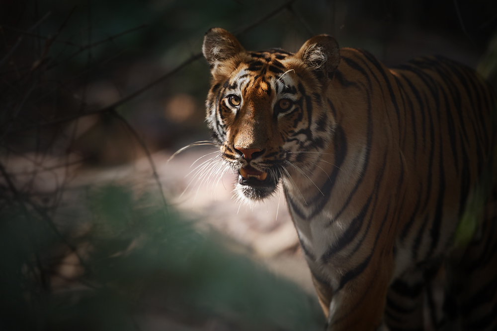 Some beautiful rays of light breaking through the forest highlighting an already beautiful species. Canon 1DX, 400mm f2.8.