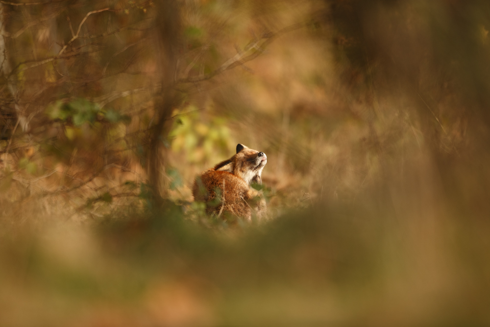 Using the environment to naturally frame the fox as it has a nice scratch at sunrise.