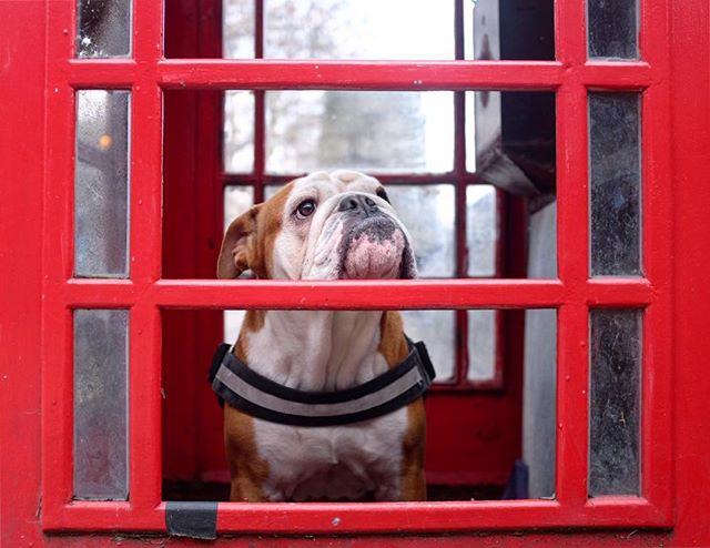 Dog in a phone box
