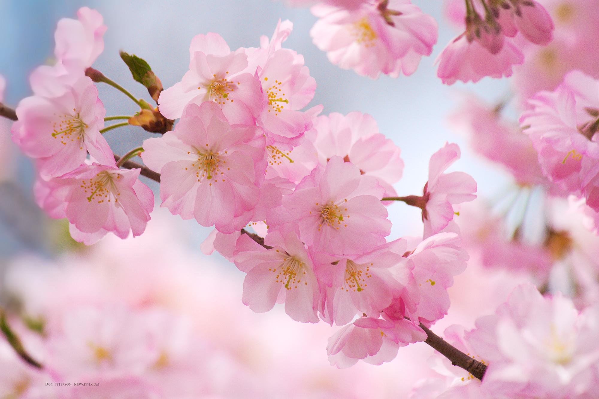 cherry-blossoms-wallpaper-1.jpg