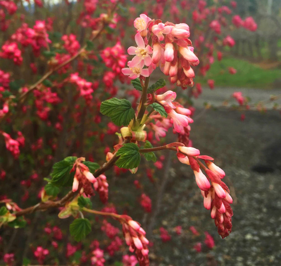 One limb on the volunteer currant in our parking area sports pale pink flowers
