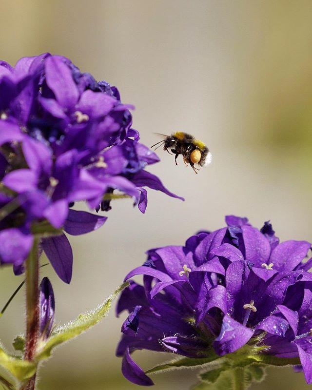 Mange fine frøkner å finne i hagen i dag 🐝 . . . . . . #travelt #bie #sommer #fjukenavis #blomstenogbien