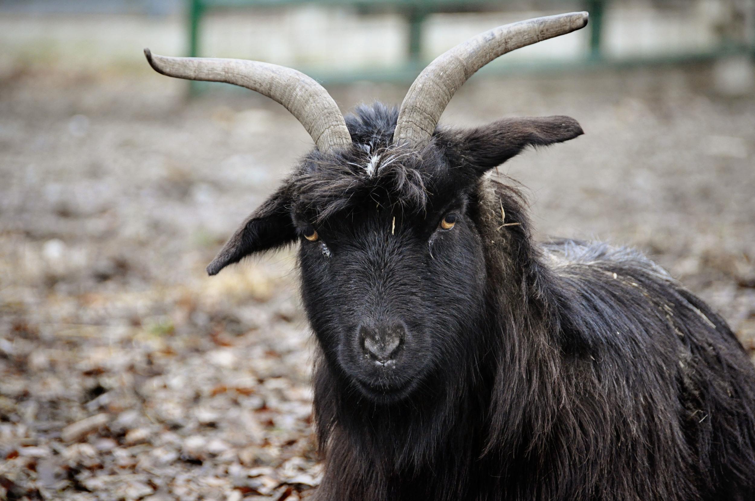Goat - Fearrington Village - Pittsboro