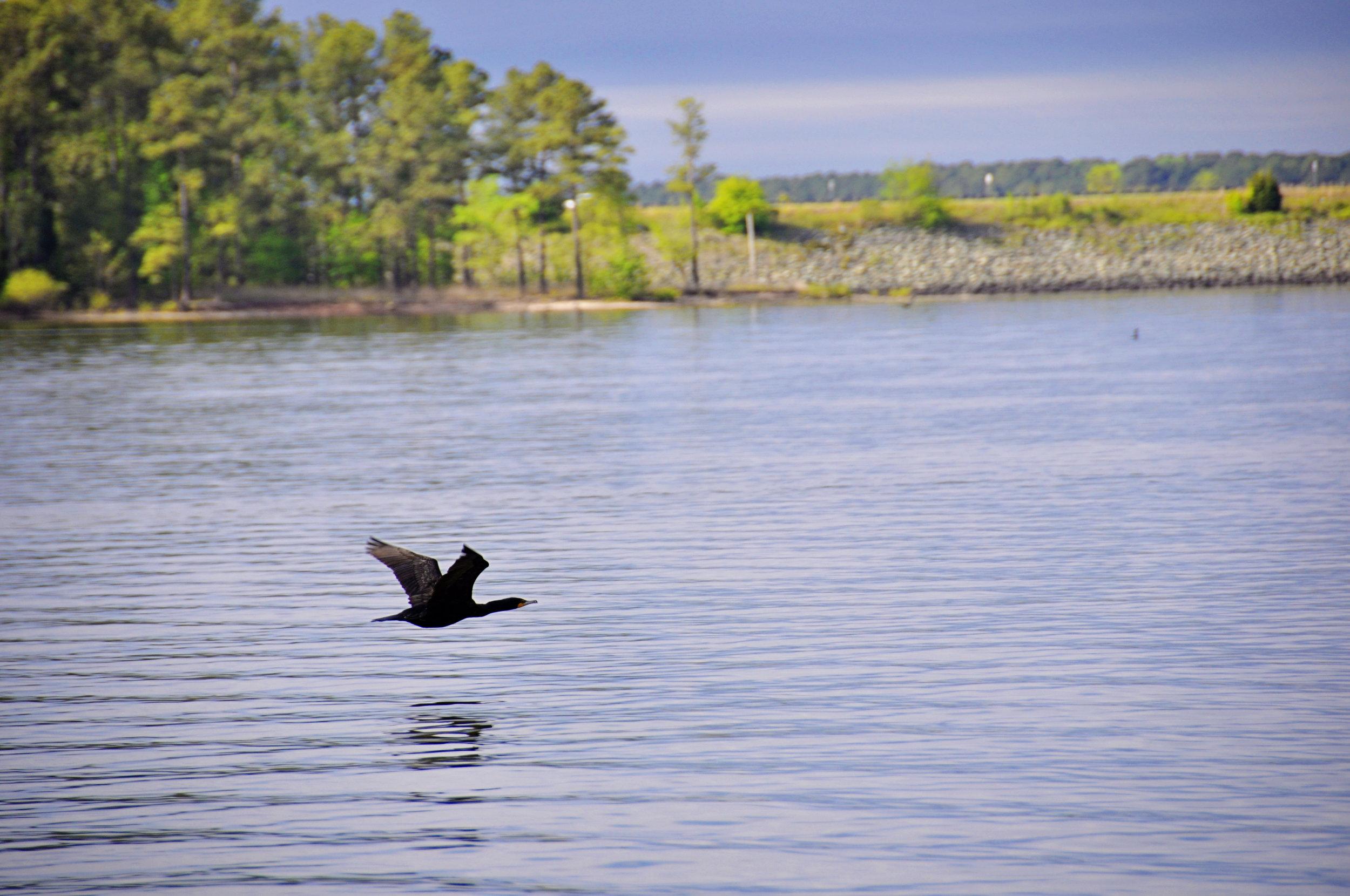 Jordan Lake Bird -2.jpg
