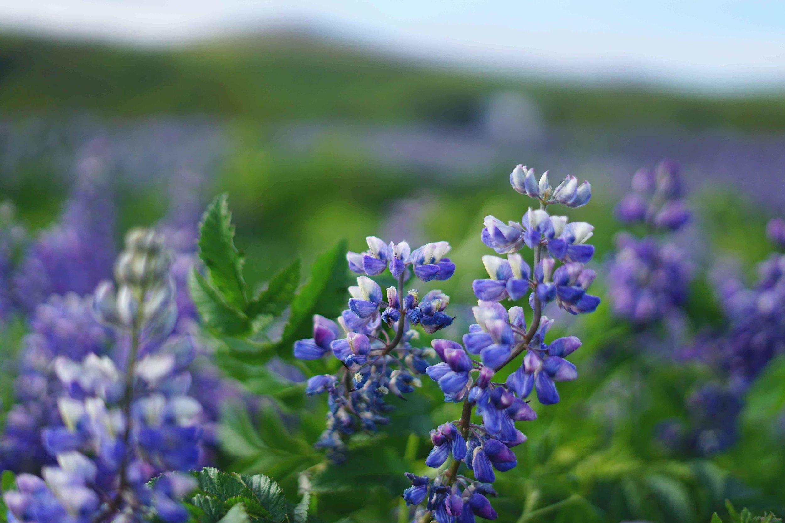 Nootka Flower Fields Iceland Travel Guide charisma shah