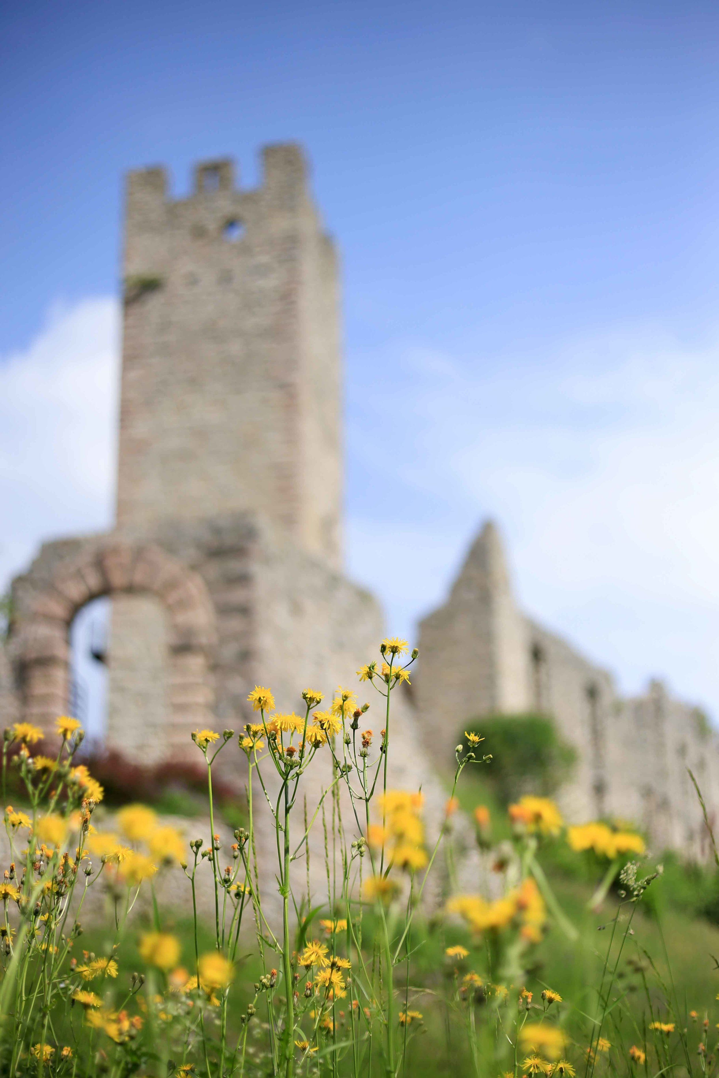 Fields of dandelions in front of Belfort Castle