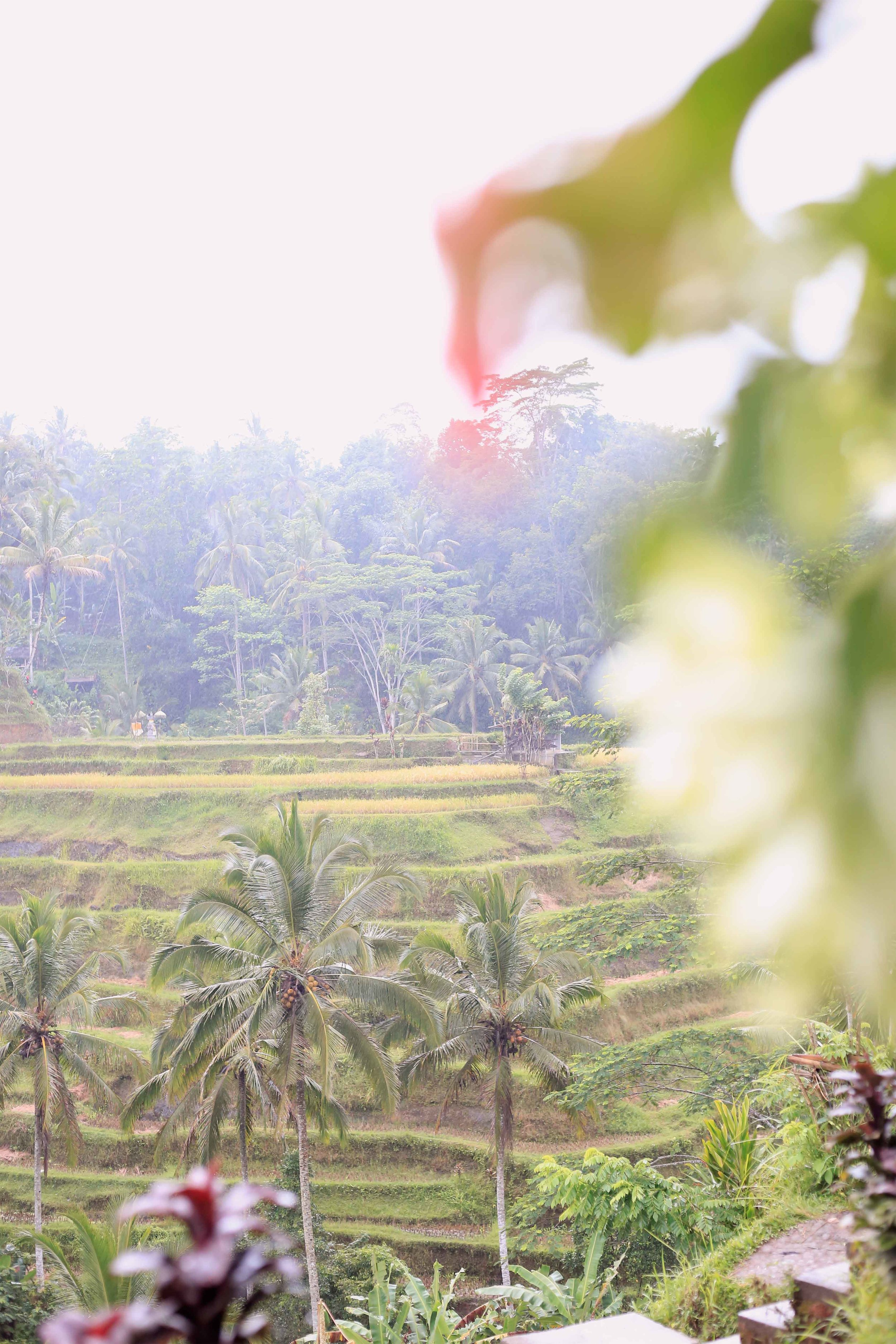 The Tellagalung Rice Field just outside Ubud is beautiful but there are better rice fields that are less touristy.