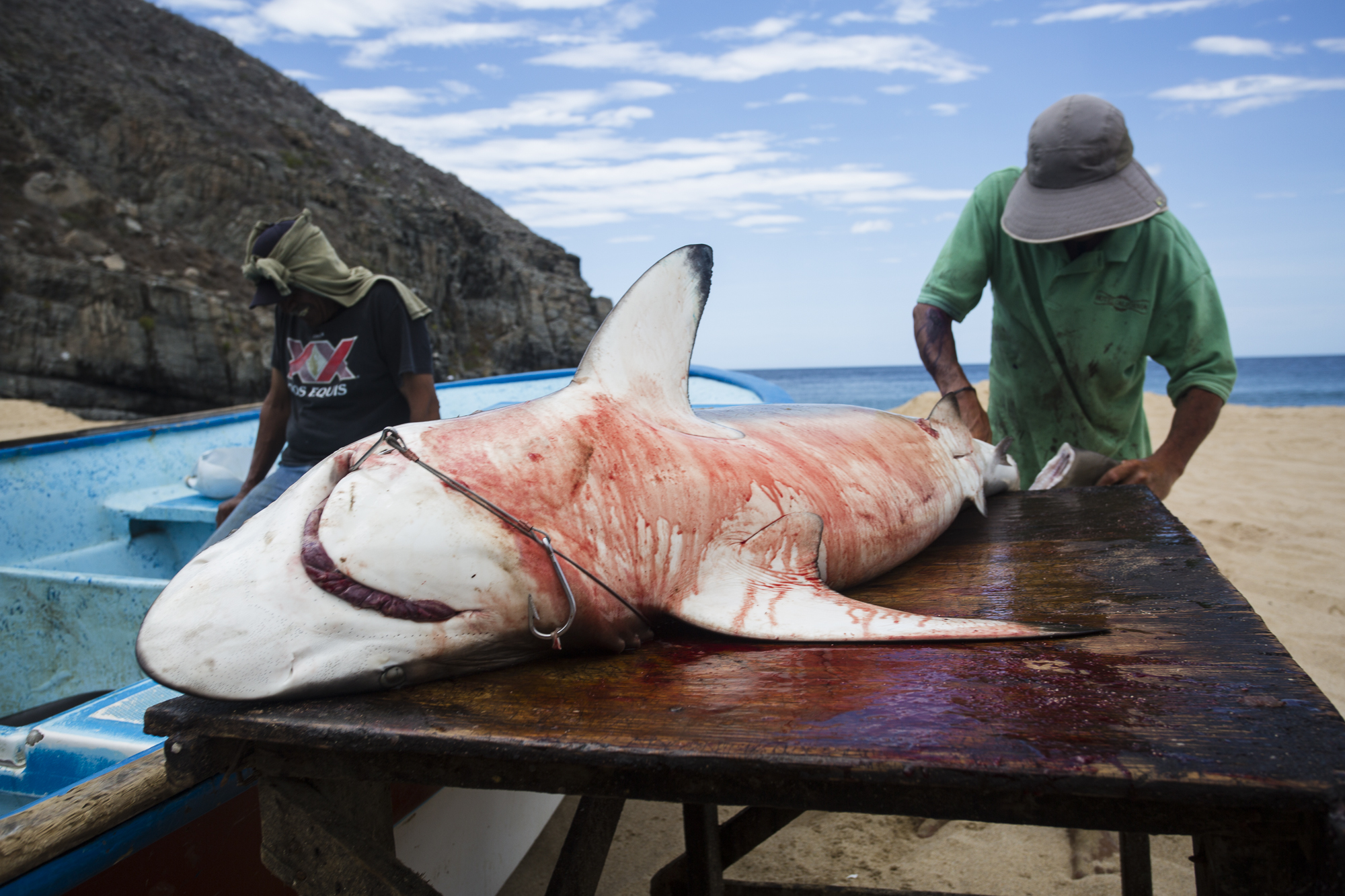 Jose Cota (right) fins a large silky shark, he makes a living gutting and cleaning sharks for the fishermen, working around 8 hours a day on the beach for 600$ Mexican Pesos or less ($32 US). The meat of the sharks he guts is sold for $2.60 US a kilogram, while the fishermen sell the fins for $40 US a kilogram; a shark this size can have around 40kg of meat and 2-3kg of fins.