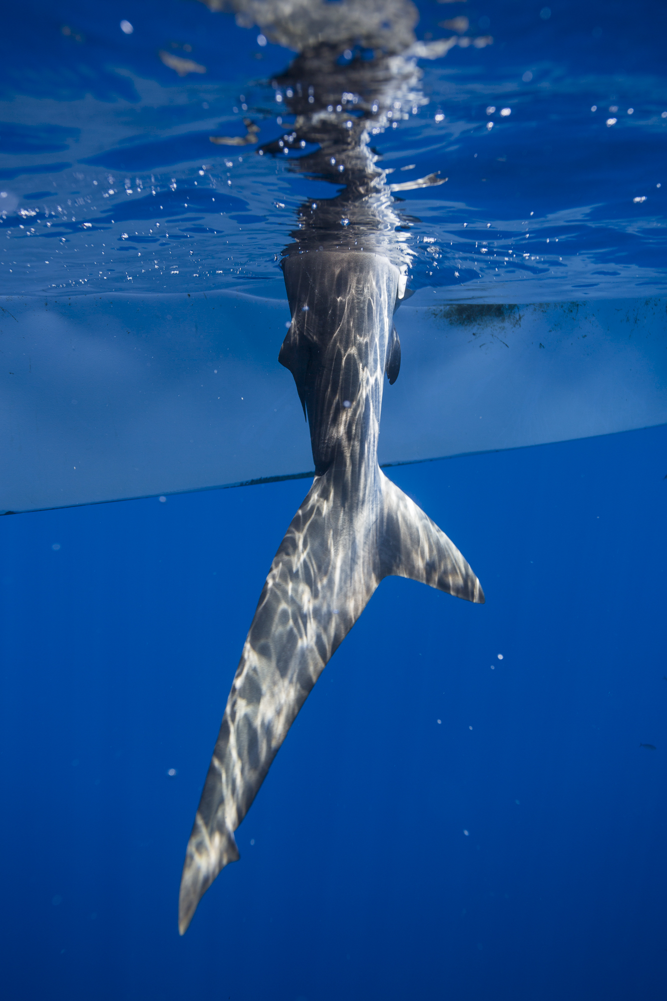 Closeup of a silky shark's tail as it is hauled onto a fishing boat. Each of the 12 shark fishing boats of this cooperative has between 10 and 16 traps set any given day.