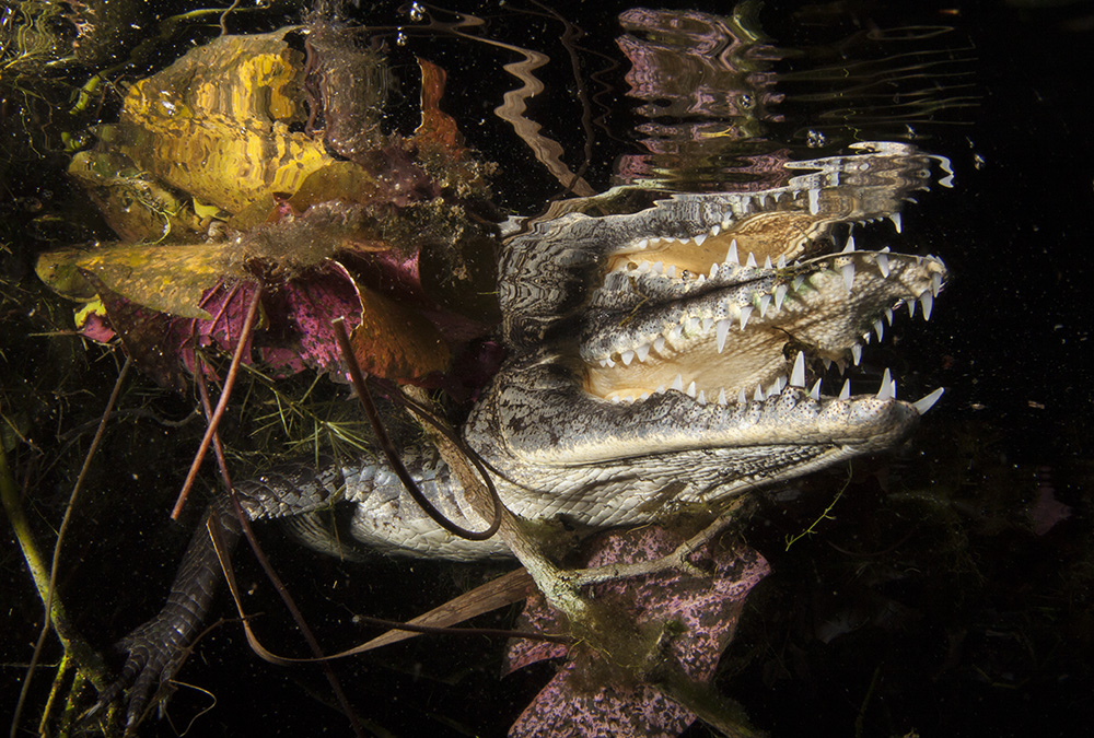 A Mexican Crocodile, (Crocodylus moreletii), hides amongst leaves and mangrove roots in cenote Car Wash, in Tulum, Mexico. In the decades of 1940 and 1950 it was driven to near extinction by hunters looking for their skin; today, as a result of widespread conservation efforts and the Crocodile Specialist Group established in 1971, the populations have recovered and are now listed as least concern by the IUCN.
