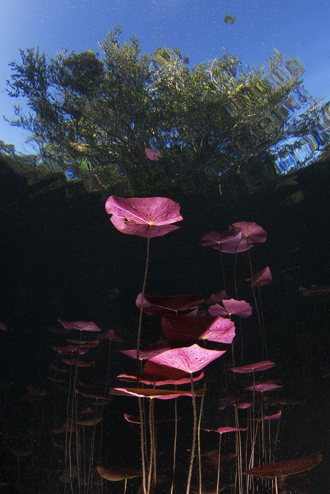 Water lilies in Car Wash cenote.
