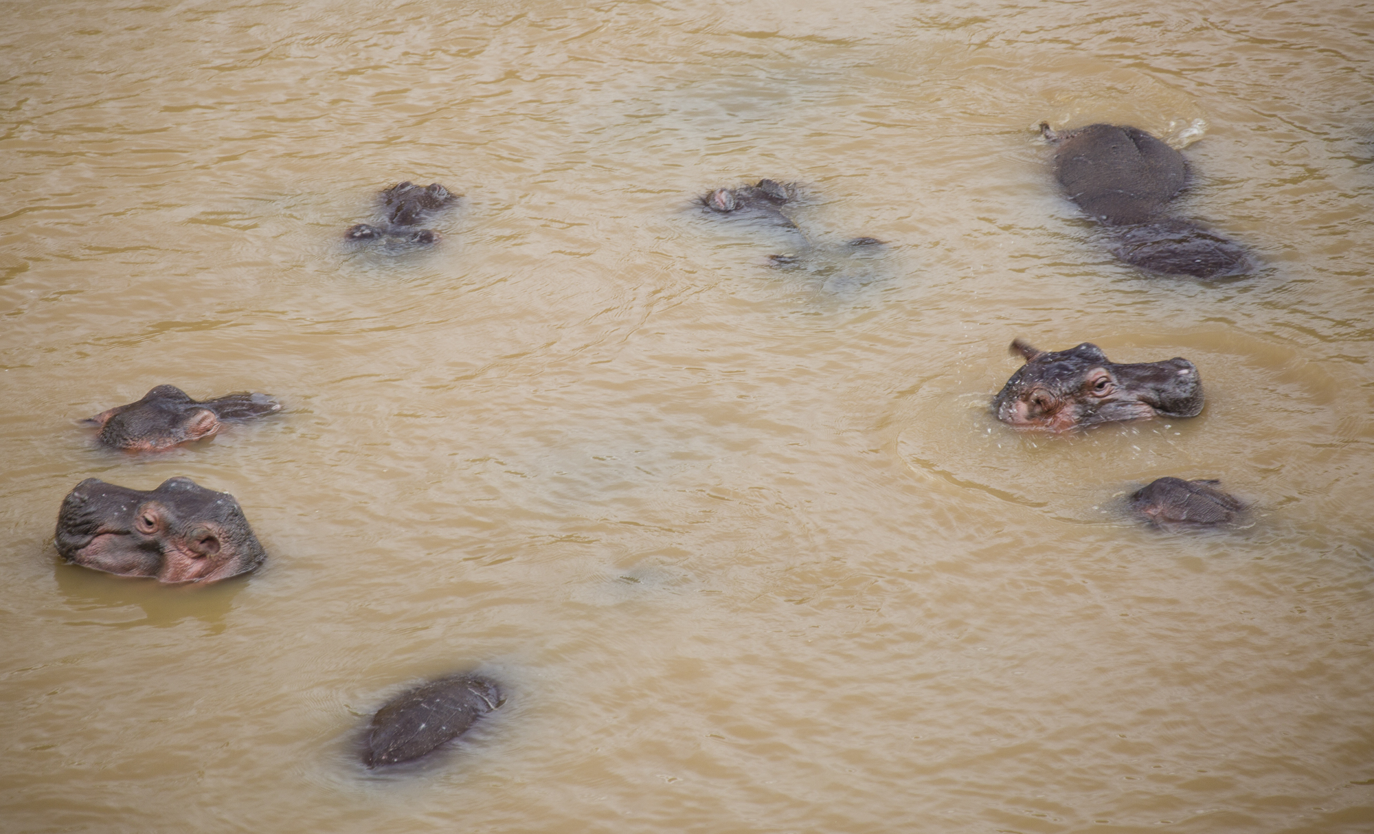 A group of hippopotamuses in the Mara River, in Kenya. These animals spend their days in the cool water and only come out of the river to feed at night.