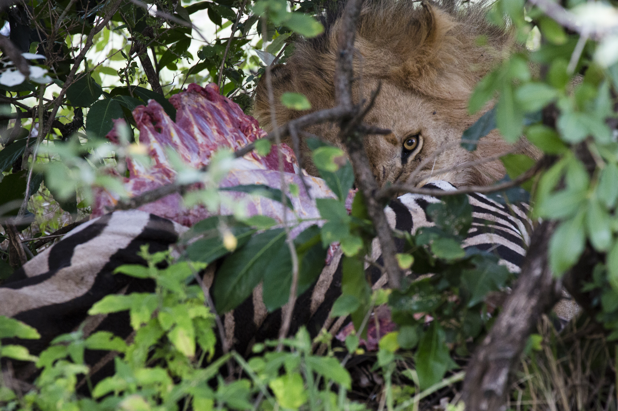 A young lion feeds on a zebra while hiding amongst the bushes of the Maasai Mara National Reserve, in Kenya. When alone, lions often drag their prey into bushes or similarly protected areas before consuming it.