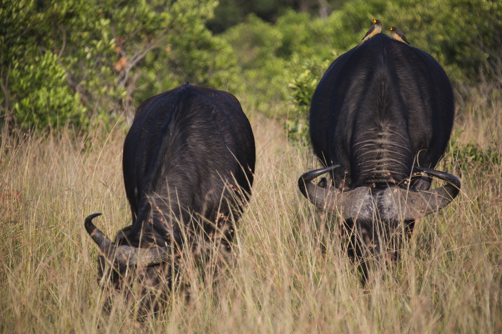 A pair of African buffalos graze while a pair of red-billed oxpeckers stand on one of them, in the Maasai Mara National Reserve, in Kenya. Red-billed oxpeckers pluck the hair from some animals to build their nests.
