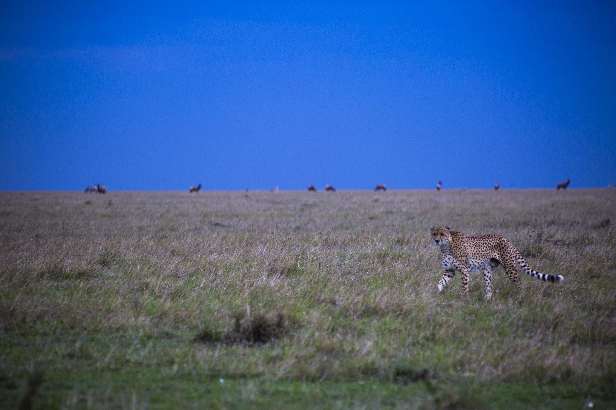 A cheetah walks through the African Savanna shortly after sunset in the Maasai Mara National Reserve in Kenya.