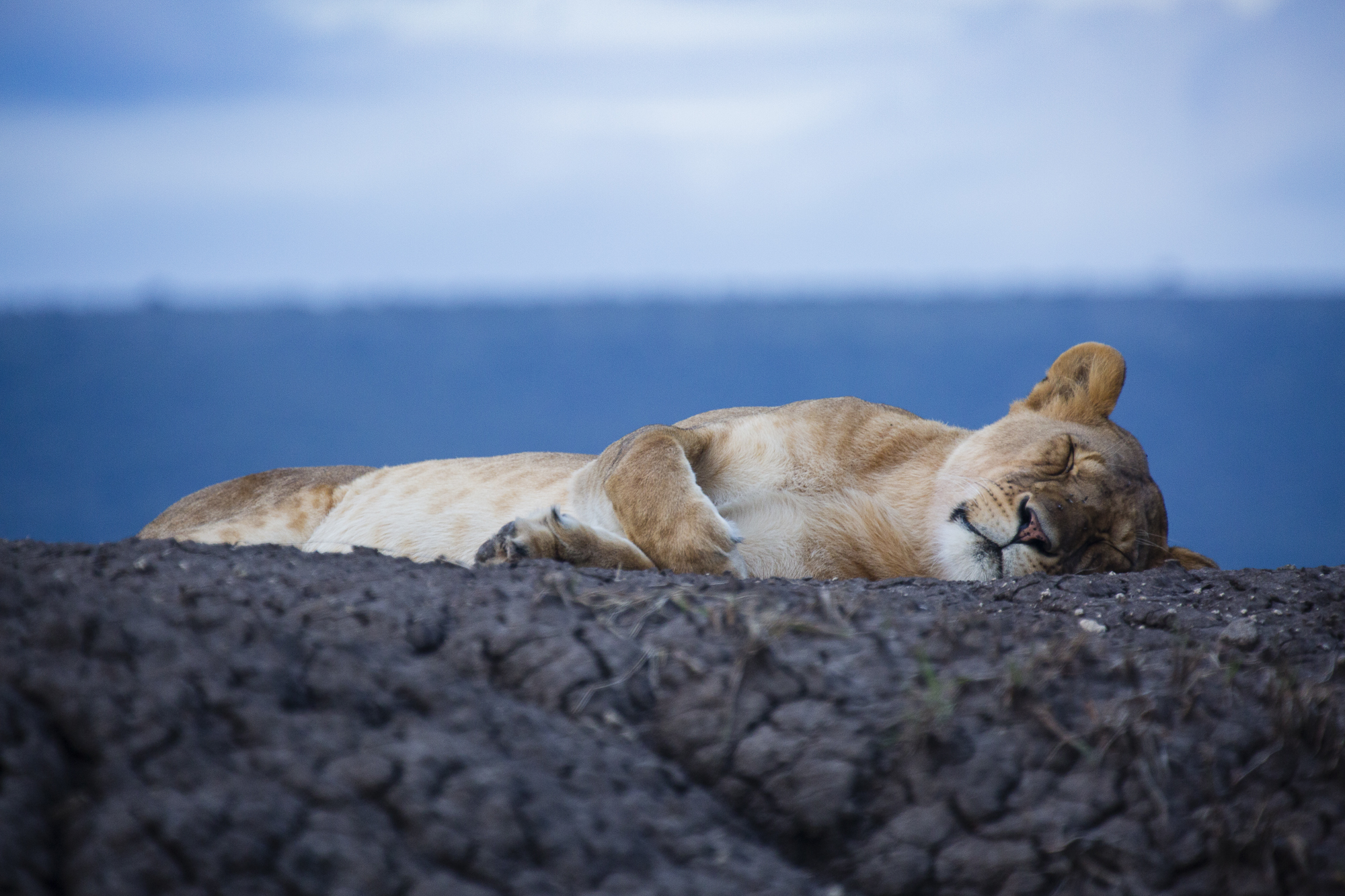 A lioness sleeps at dusk atop an dirt mound, in the Maasai Mara National Reserve in Kenya.