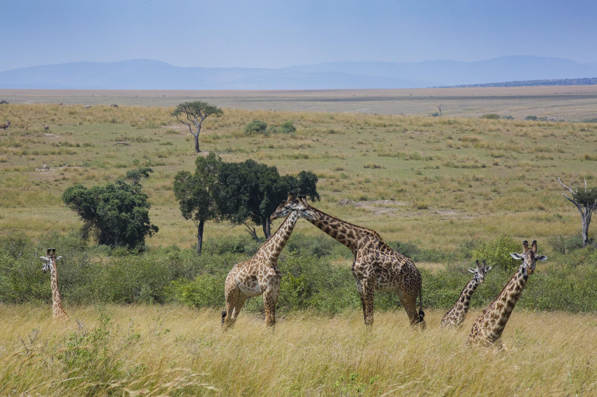 A herd of giraffes in the Maasai Mara National Reserve in Kenya.