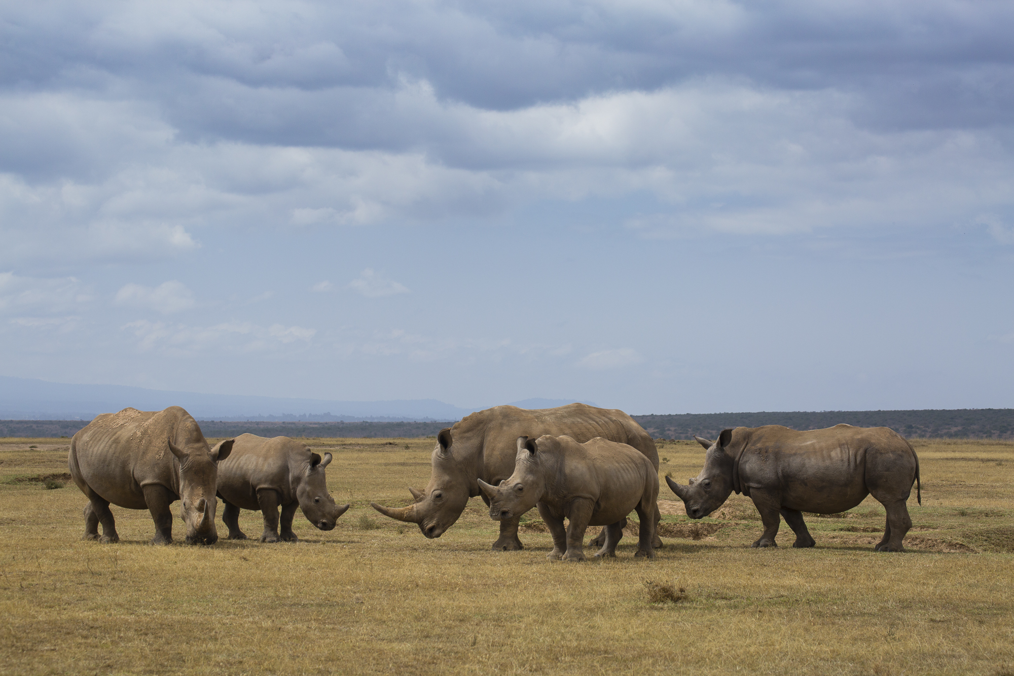 A group of rhinos grazing in Solio Ranch, Kenya. A privately owned game reserve, Solio has been at the forefront of rhino conservation in Kenya for 48 years, having one of the largest rhino populations in East Africa and having exported over 150 rhinos to other sanctuaries and reserves across the continent.
