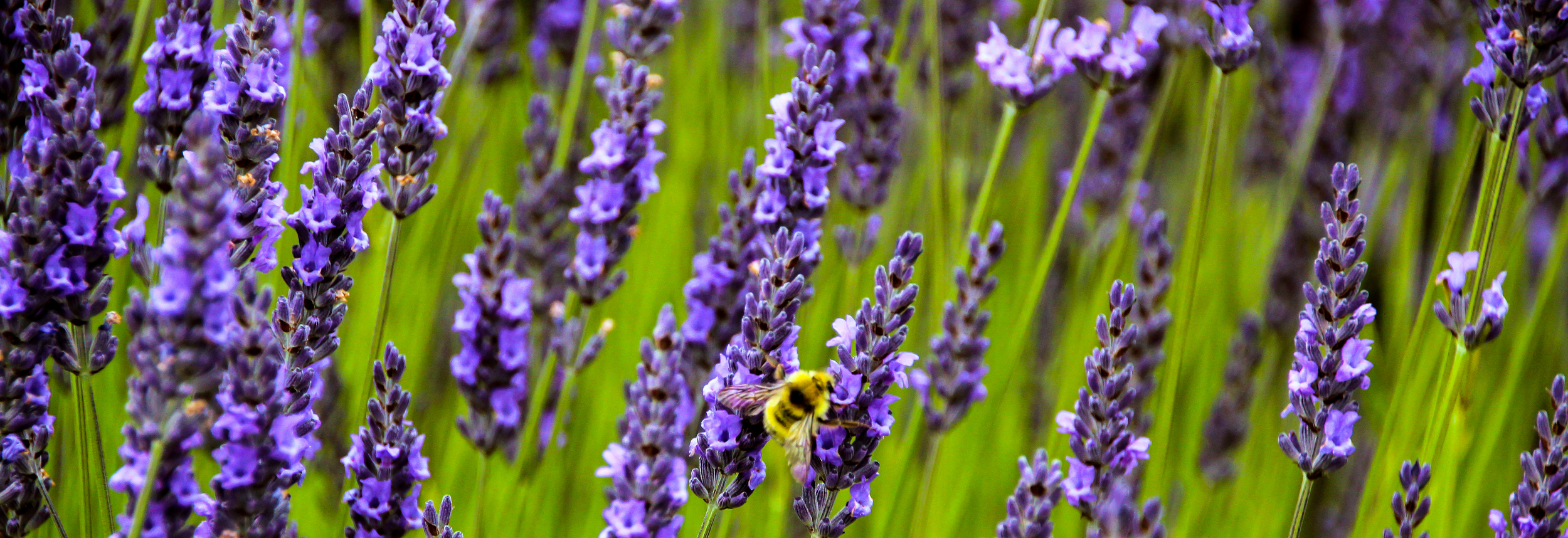 Notice that only some of the lavender is in focus. Flowers in front of and behind the bee are blurry. (Macro shot)