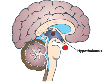 Midsagittal View of the hypothalamus -