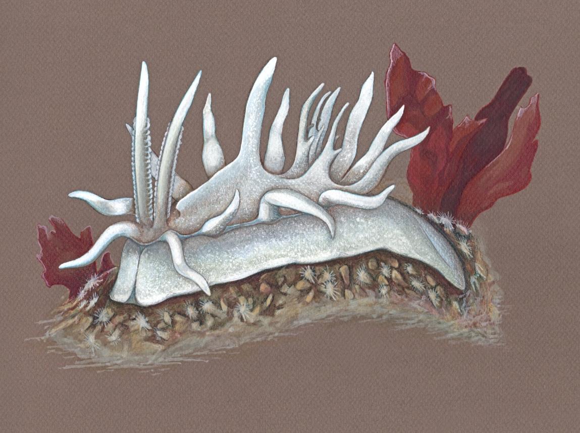 Newly described nudibranch - Okenia felis