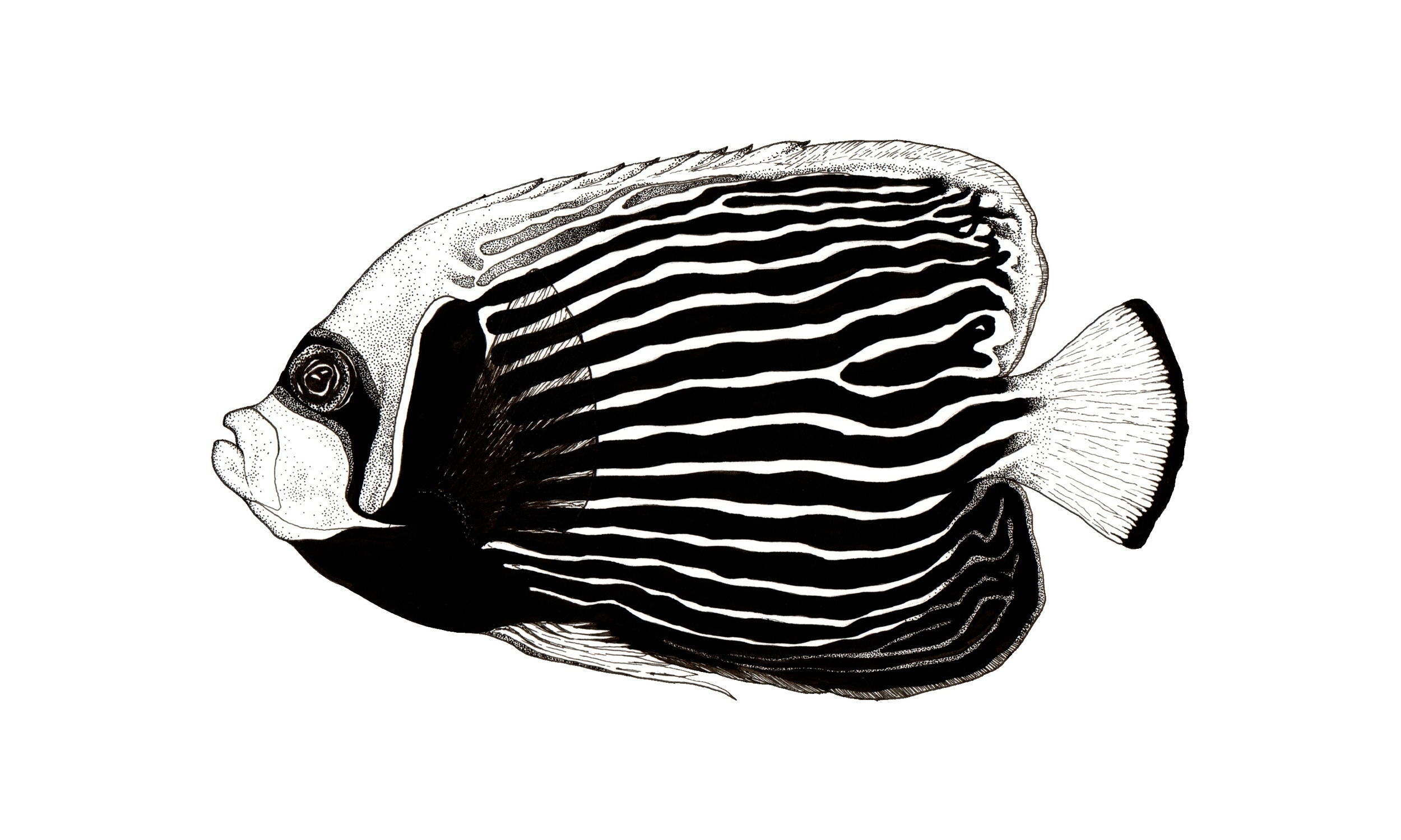 Emperor butterflyfish