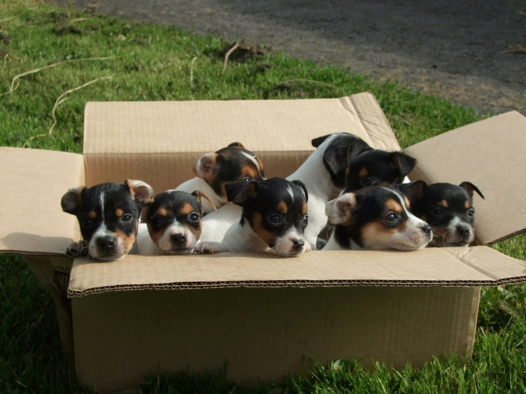 A litter of Jack Russell Terriers from Elsea and Buddy our two working Jack Russells.