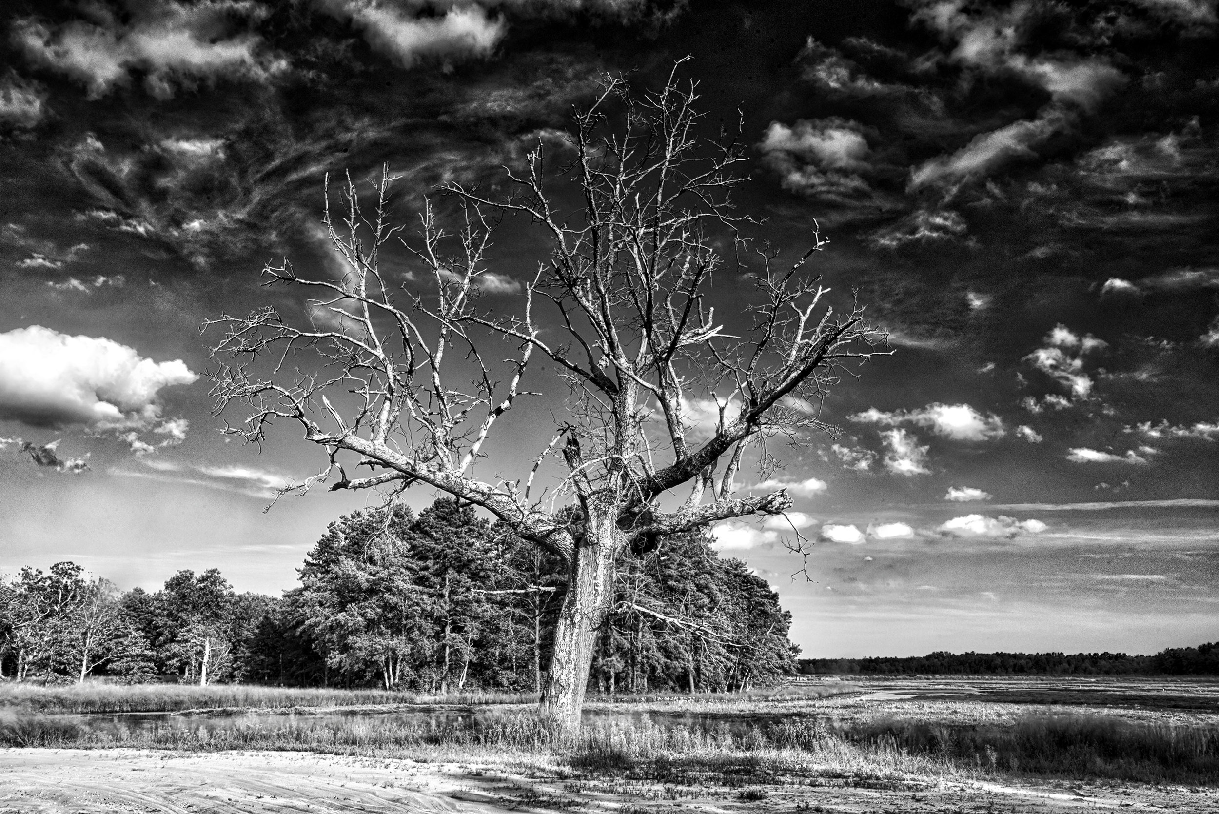Black and white tree Pine Barriens.jpg