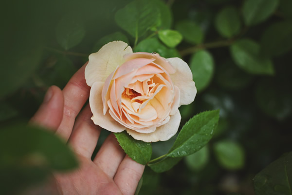 hand touching a yellow rose