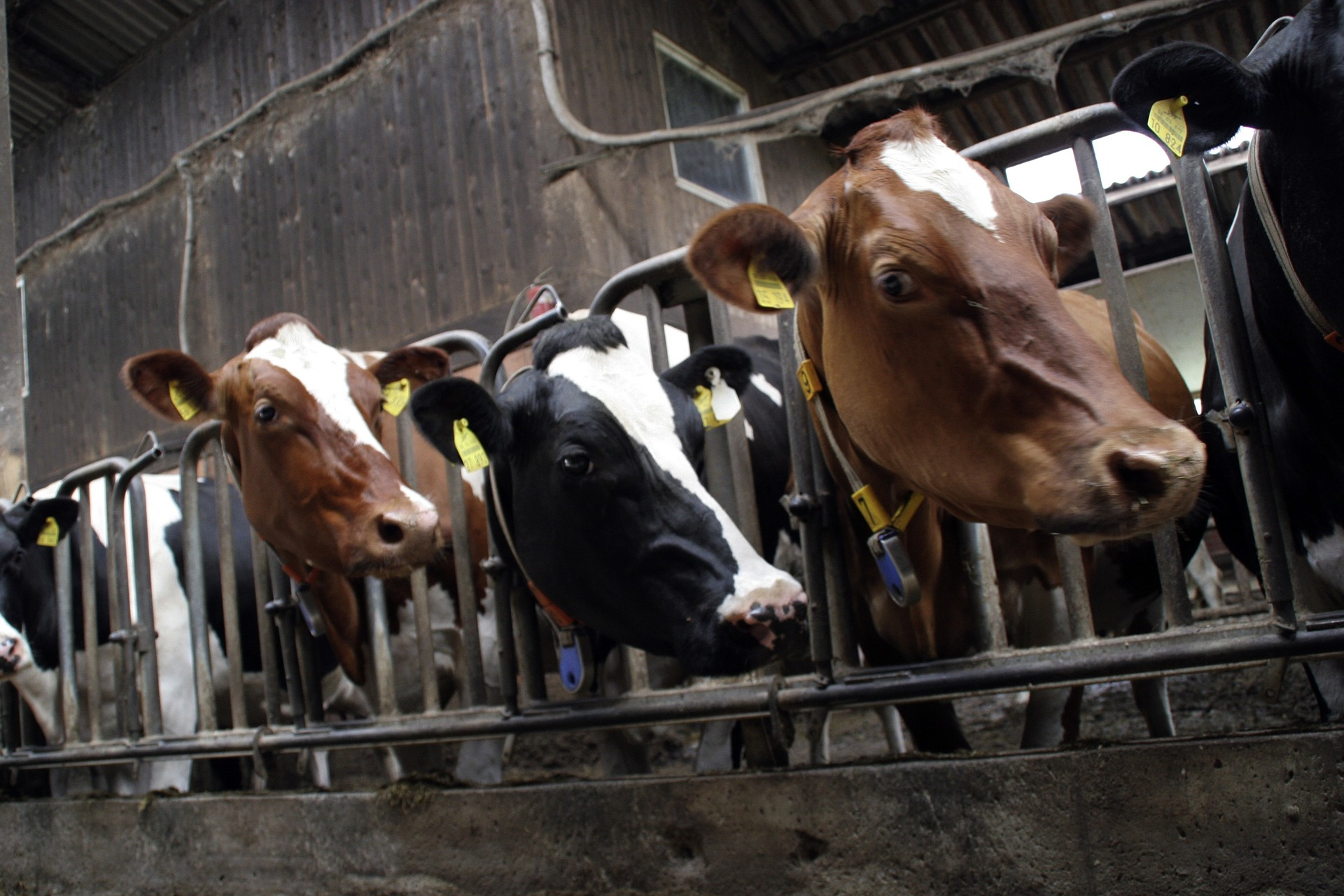 Factory Farm Cows: Image by Fred Lehmann