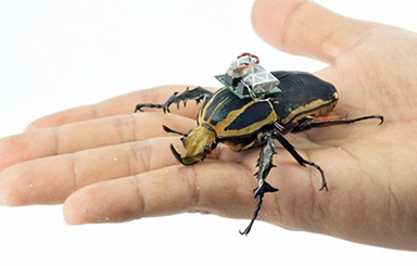 Image from the University of California, Berkeley and Singapore's Nanyang Technological University, where researchers are studying cyborg flower beetles.
