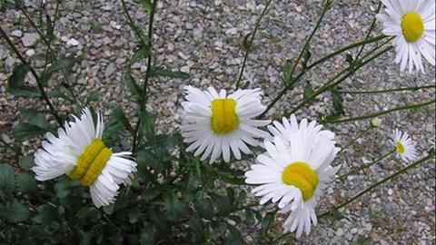 Mutant daisies found near the Fukushima Daiichi Nuclear Disaster Site