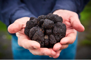 Jackson Family Wines in Santa Rosa, Calif., harvested a 12.75-ounce black Périgord from its truffle orchard in January. The farm produced its first truffles last February, six years after planting.