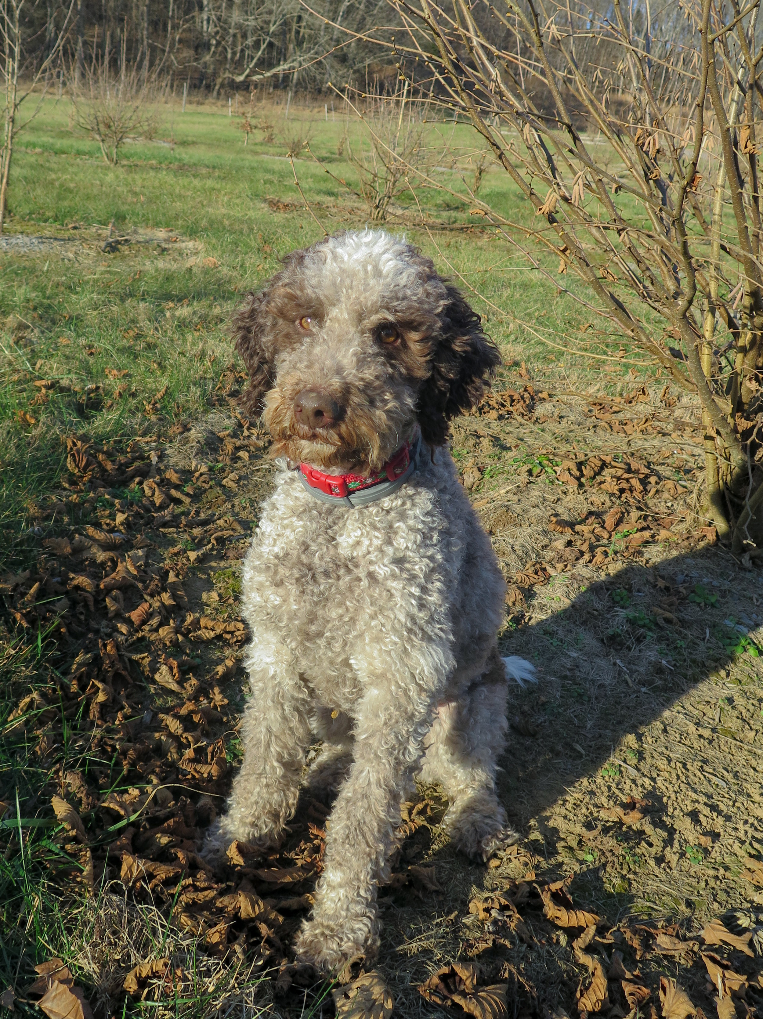 Monza is a Lagotto Romagnolo, an Italian breed that has been truffle-hunting for centuries.