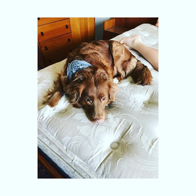 Poor Lucy is in surgery today for a hysterectomy as well as a tumor removal in her eyelid. They will do a biopsy on the tumor ~ was so hard leaving her there. 💕 . . . #ilovemydog #ducktoller #hysterectomy #tumor #surgery #waitingsucks #ducktollersofig #newwest #newestminster