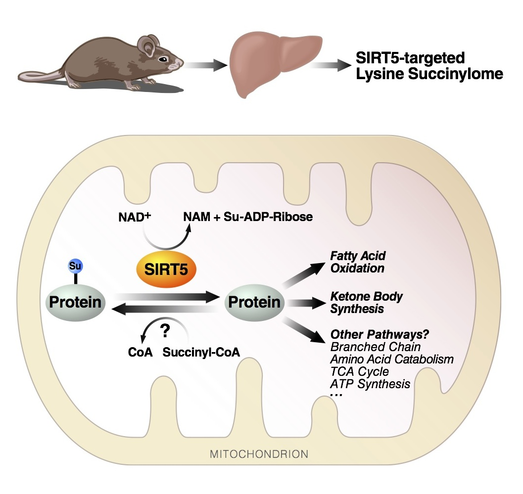 Cell Metabolism — SIRT5 Regulates the Mitochondrial Lysine Succinylome and Metabolic Networks