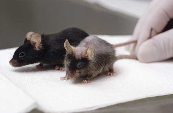 Young and Aged Mice