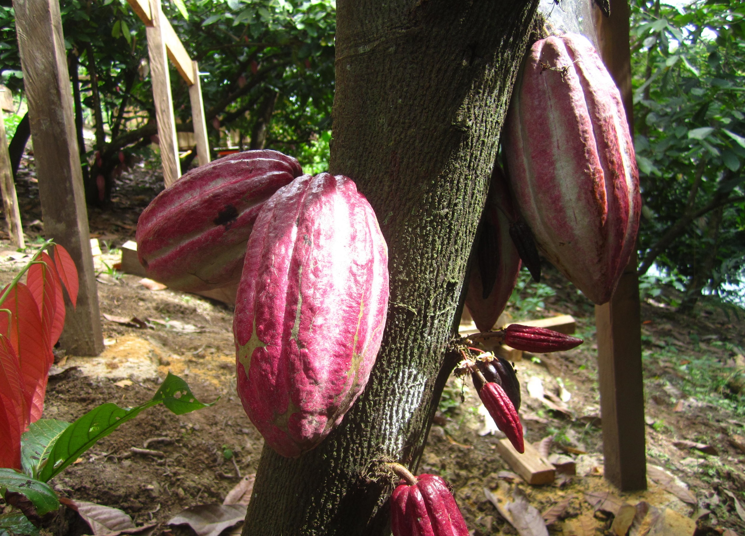 cacao-pods-guate.jpg
