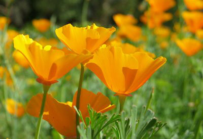 California Poppy 2.jpg