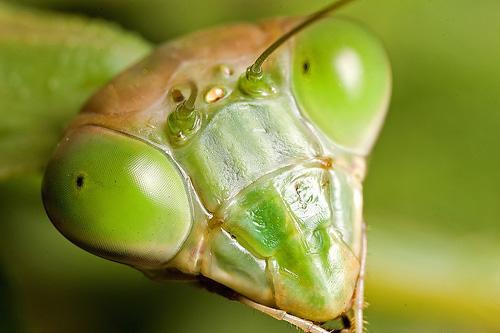 Praying Mantis 2.jpg